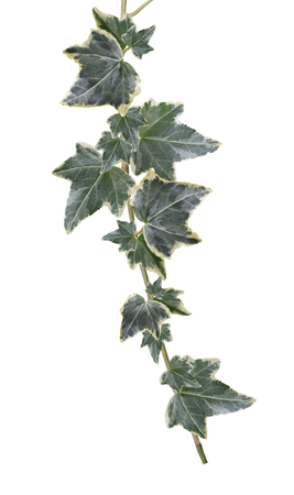 Green ivy isolated on white background.Close-up Stock Photo