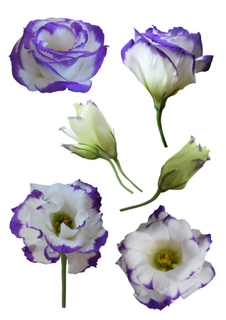 Eustoma flowers and buds (Lisianthus) isolated on white background 写真素材