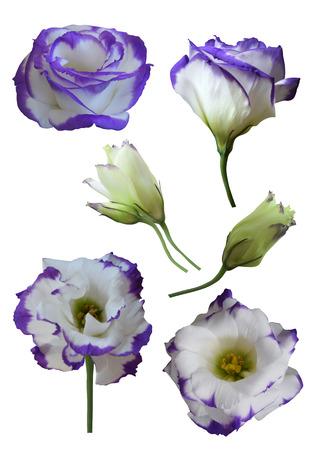 Eustoma flowers and buds (Lisianthus) isolated on white background Stock Photo