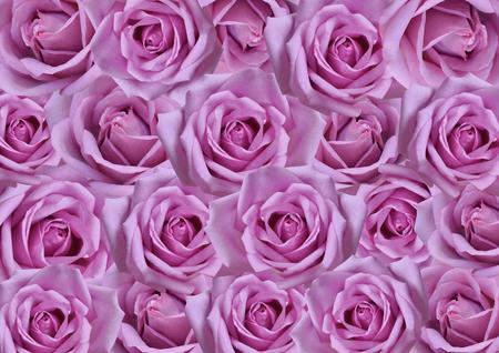 Beau fond de roses violettes, fonds d'écran