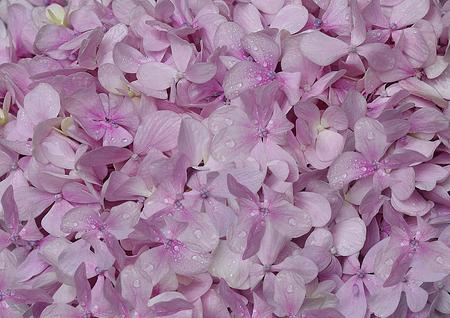 Purple hydrangea flowers background
