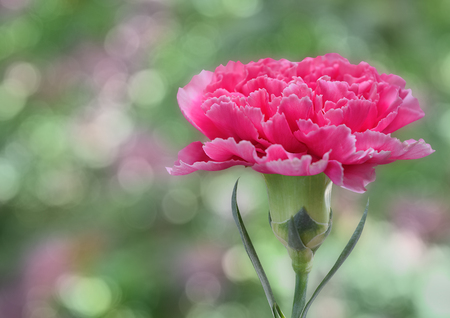 Beautiful pink carnation flower with space for your text