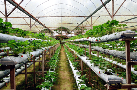 Strawberry garden in Genting Highland,Pahang