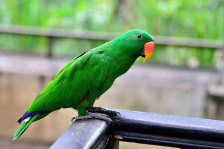 eclectus parrot: Eclectus Parrot standing on the wood railing