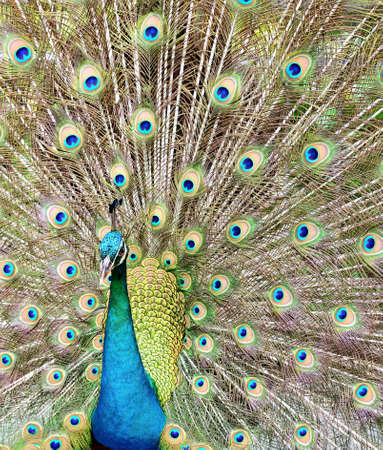 Peacock showing its beautiful feather photo