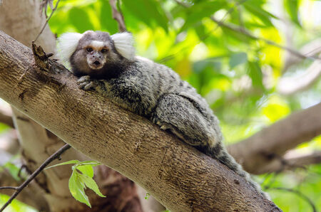 Common Marmoset on the tree and looking at the camera