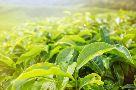 sulight: Close-up of tea leaves in morning sulight