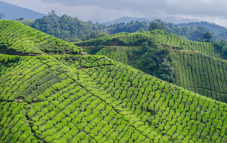 cameron highlands: Tea Plantation in Cameron Highlands Stock Photo