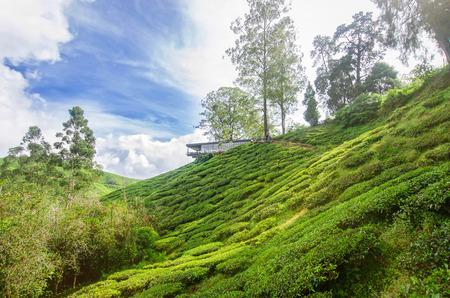 cameron highlands: Tea Plantation in the Cameron Highlands, Malaysia