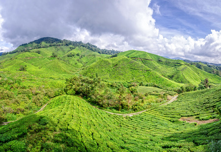 cameron highlands: Panorama of tea plantation,Cameron Highlands