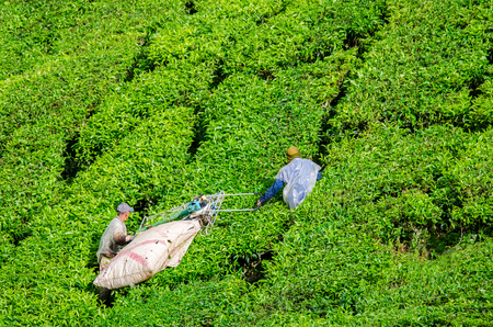 cameron highlands: Tea Workers harvesting tea leaf using machine in Cameron Highlands