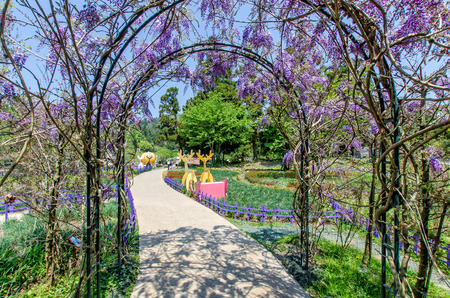 There is a beautiful wisteria walkway at the entrance of Cingjing Small Swiss Garden,Nantou Taiwan
