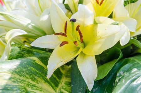 white lily: Flores del lirio blanco