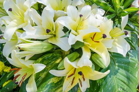 lirio blanco: Flores del lirio blanco