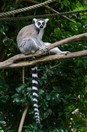 ring tailed: A ring tailed lemur sitting on the tree branch Stock Photo