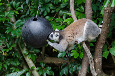 ring tailed: Ring tailed lemur having its food