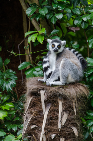 ring tailed: A ring tailed lemur in an embrace with its tail
