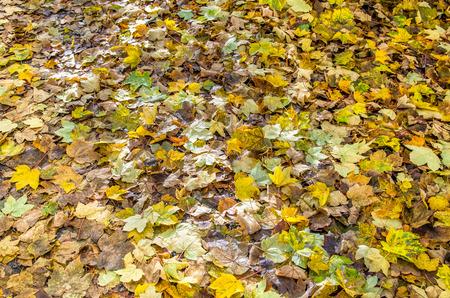newzealand: Fallen leaves of the maple trees in Arrowtown,New Zealand
