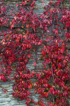 newzealand: Red creeper leaves climbs up on the wall in Arrowtown, New Zealand