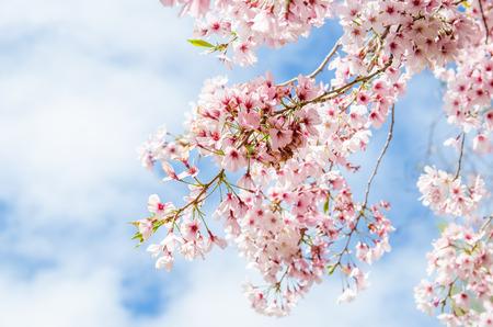 Spring Sakura Cherry Blossom in New Zealand Archivio Fotografico