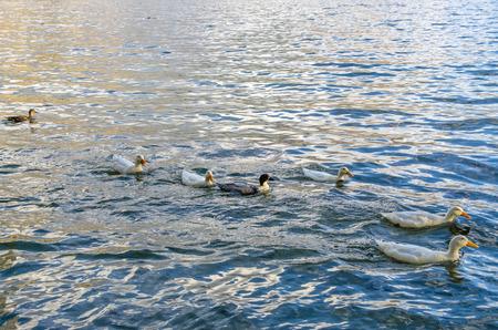 wakatipu: Wild ducks swimming in the Lake Wakatipu, New Zealand.