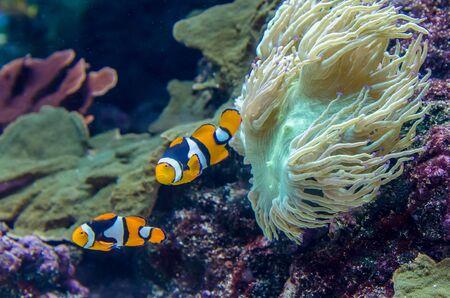 A pair of Amphiprion Percula Clownfish in the aquarium.
