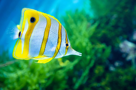 chelmon: Copperband butterflyfish (Chelmon rostratus)