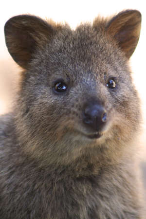 Quokka, Rottnest Island, Australia