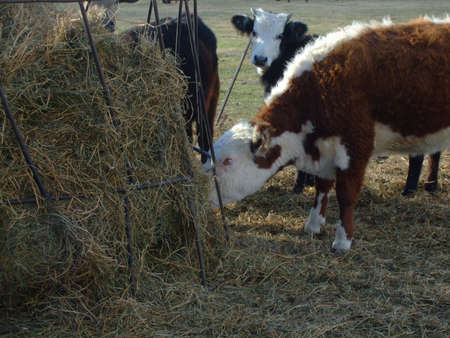 dry cow: dry cow eating grass