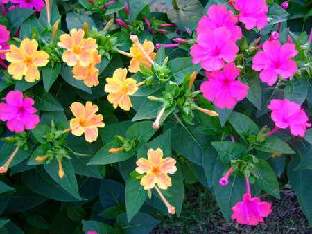 magenta flowers: yellow and magenta flowers Stock Photo