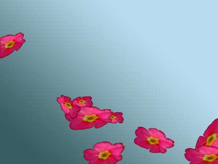 magenta flowers: Magenta flowers over gray background
