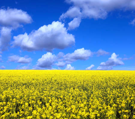 species living: Field of yellow flowers Stock Photo