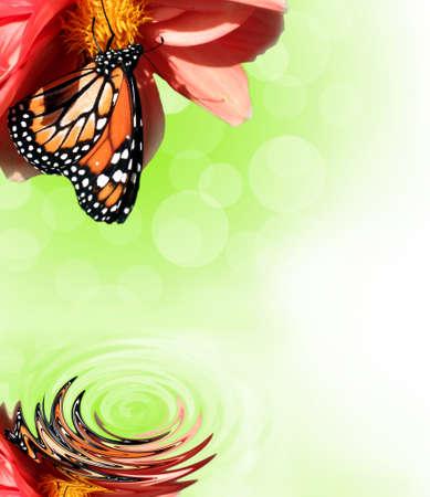 plants species: Monarch Butterfly riflettuto