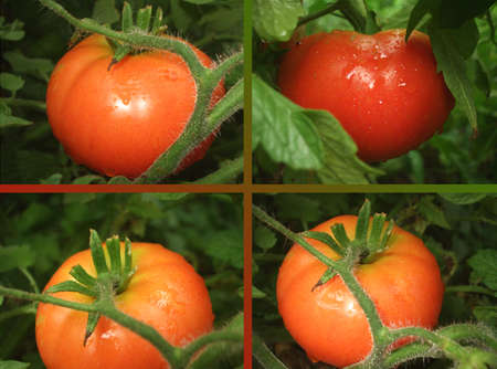 Ripe tomatoes in the organic orchard