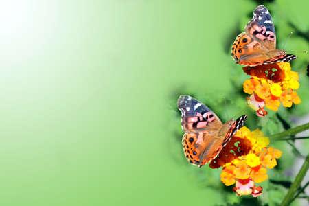 white fund: Orange butterflies on flowers