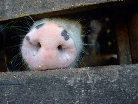 snout: Pig snout