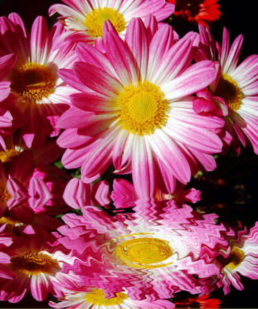 Flower pink reflected, chrysanthemum Stock Photo - 12120320