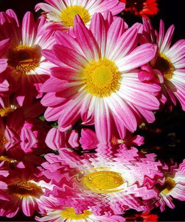 Flower pink reflected, chrysanthemum Stock Photo - 12120320