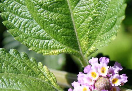 fondos violeta: Hermosa flor y las hojas Foto de archivo