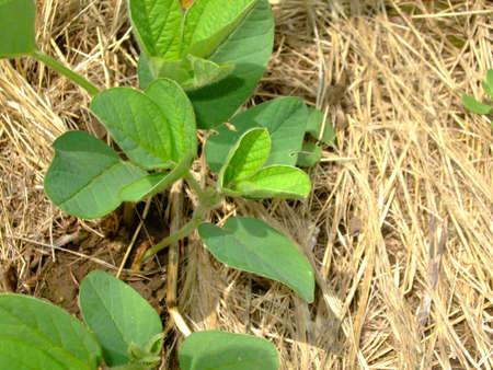 tillage: soybeans planted on wheat stubble, tillage Stock Photo