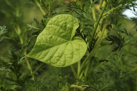 heartshaped: Beautiful heart-shaped leaf