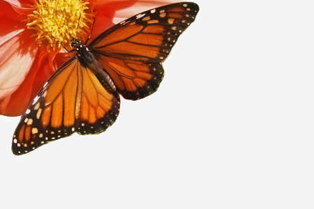 monarch butterfly spreading its wings on flower Stock Photo - 15647440