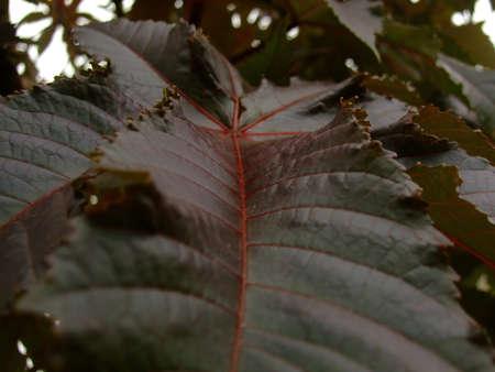 castor: Castor bean plant leaf Stock Photo