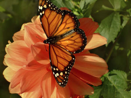monarch butterfly with open wings photo