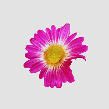 Daisy Isolated photo