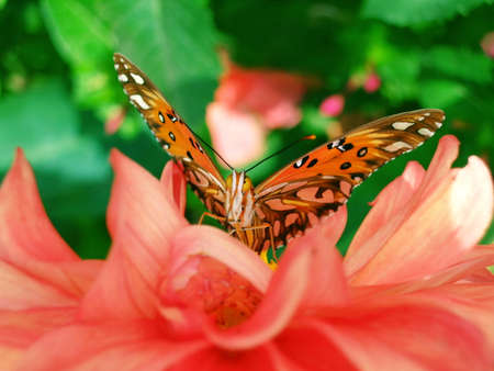 Orange butterfly with open wings on the flower photo