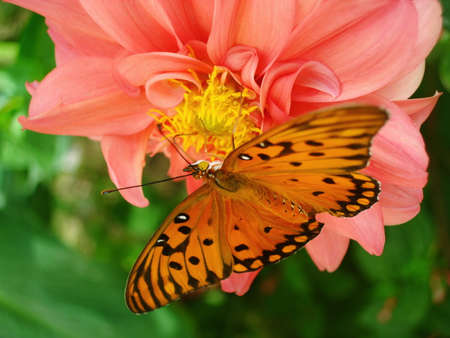 Orange butterfly  on the flower photo