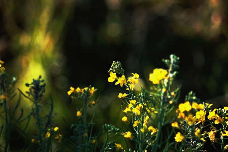 hints: Rapeseed flowers in the field with hints of sun