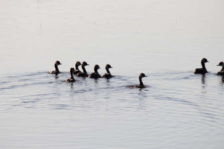 hurried: Ducks on a pond swimming