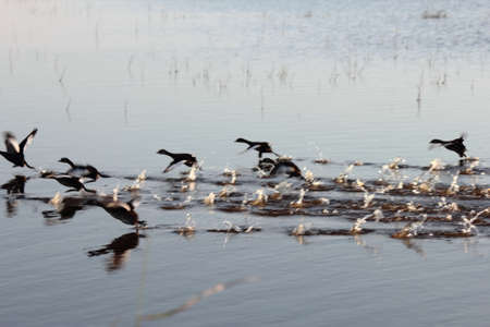 hurried: Ducks on a pond flying Stock Photo